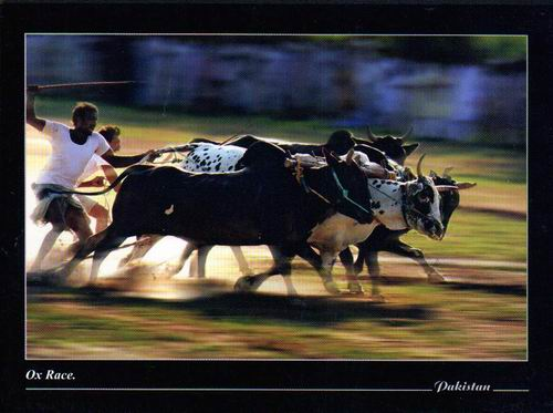 Pakistan Beautiful Postcard Ox Race