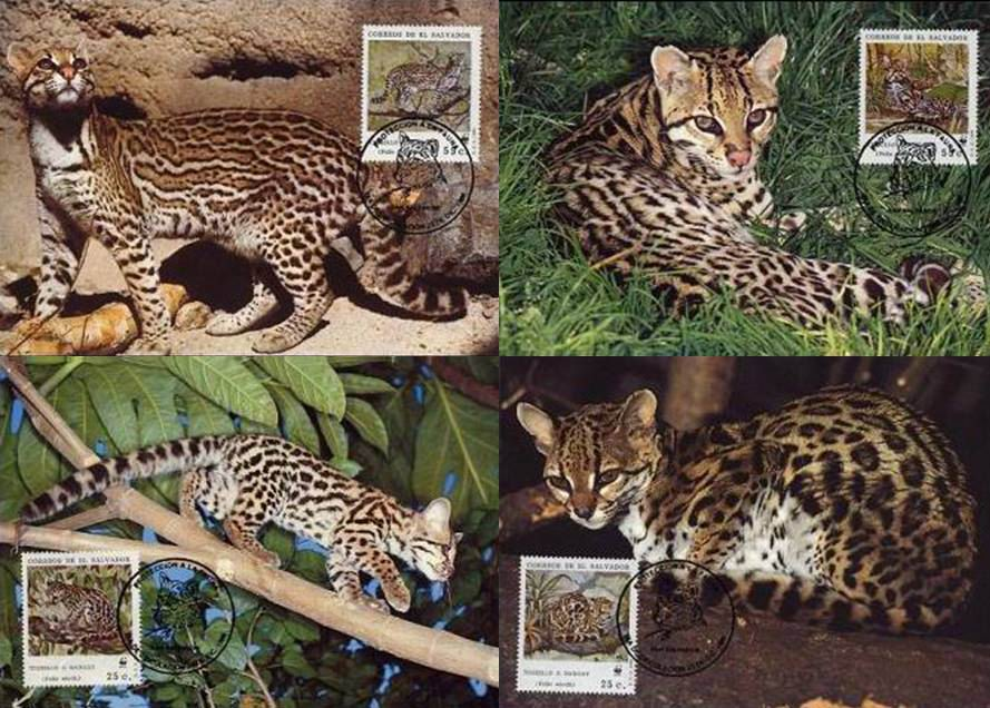 WWF El Salvador 1988 Beautiful Maxi Cards Ocelot Wild Cats